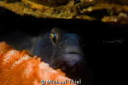 Gobius Niger hiding in a shell by Michael Thiel