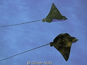 Spotted eagle rays are frequently to be found in the El Q... by Olivier Notz