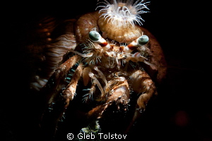 Anemon crab by Gleb Tolstov