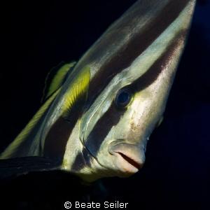 Batfish by Beate Seiler