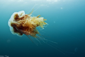 icelandic jellyfish by Mathieu Foulquié