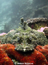 Flathead in Wakatobi by Alistair Bygrave