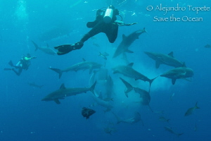 Shark Frenesi with Divers, Gardens of the Queen Cuba by Alejandro Topete