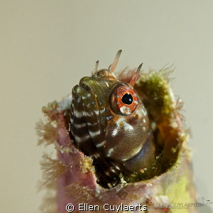 Gulf signal blenny in an tube wormhole, cosy! by Ellen Cuylaerts