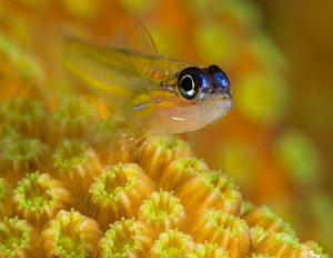 "Peppermint Goby ""Knife"" Klein Bonaire.  D800 105mm and ma... by John Roach"
