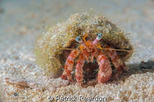 Hermit crab.  D800 with Nikon 105 and SubSea 5X. by Patrick Reardon