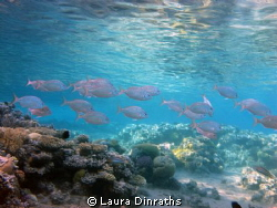 School of Mojarras fish over a shallow coral reef in the ... by Laura Dinraths