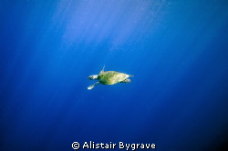 Turtle in the blue by Alistair Bygrave