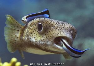 Porcupinefish Bunaken,Sulawesi,Indonesia, Bunaken Islands  by Hans-Gert Broeder