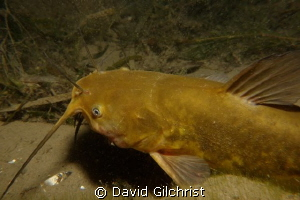 Brown Bullhead Catfish, Niagara River by David Gilchrist