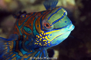 Kiss me ! Nikon D00e 105 macro,Lembeh Strait by Puddu Massimo
