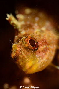 Blenny from Bodrum/Turkey by Taner Atilgan