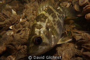 Rock Bass, Niagara River by David Gilchrist