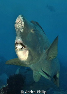 close encounter with a bumphead parrotfish by Andre Philip