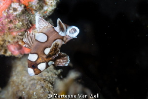 Harlequin Sweetlip doing its dance in Anilao by Marteyne Van Well