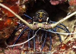 Lobster Scary Bunaken,Sulawesi,Indonesia, Bunaken Islan... by Hans-Gert Broeder
