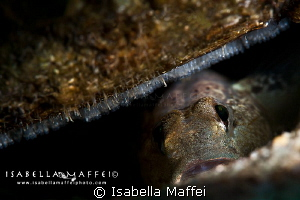 """""""DON'T TOUCH MY BABIES"""" a little goby takes care his eggs by Isabella Maffei"""