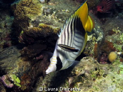 Threadfin butterflyfish at the cleaning station by Laura Dinraths