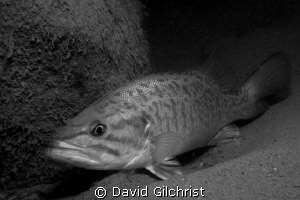 Bass sheltering behind rock in the Niagara River. by David Gilchrist