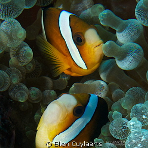 Two is better as one! Clark's Anemonefish by Ellen Cuylaerts