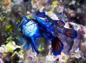 Mandarine fishes  Nikon D800E , 105 micro Nikon, twin st... by Marchione Giacomo