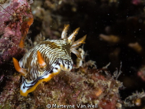 Chromodoris burni taken at dive site Bethleham with Sigma... by Marteyne Van Well