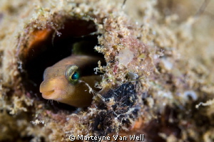 Goby looking at the camera at dive site Bethleham. Shot w... by Marteyne Van Well