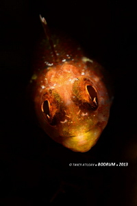 Another blenny from Bodrum/Turkey (no PS) by Taner Atilgan