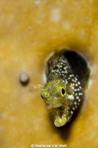 Secretary Blenny wanting to take a bite out of the camera... by Marteyne Van Well