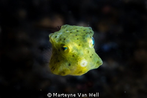 Yellow Boxfish in Lembeh by Marteyne Van Well