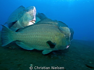 I like these special fish (and the great diving in Tulamb... by Christian Nielsen