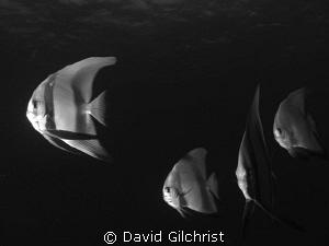 A batfish grouping in Truk Lagoon by David Gilchrist