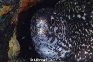 Spotted Eel at Dive Site Ledges, St. Thomas, USVI by Michael Cupolo