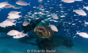 Goliath Grouper by Eduardo Nadal
