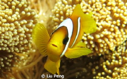 clownfish with blight eyes by Liu Peng