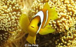 clownfish with blight eyes by Liu Peng