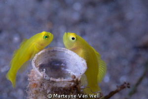 Two yellow pygmy gobies feverishly protecting their eggs.... by Marteyne Van Well