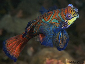 Mandarin Fishes  releasing sperm and eggs! by Iyad Suleyman