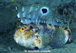 Blennius ocellaris by Salvatore Ianniello