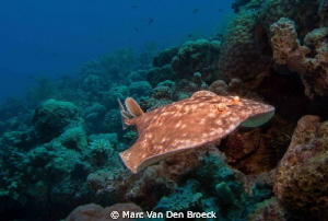 electric ray by Marc Van Den Broeck