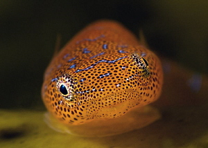 Eastern Cleaner Clingfish. Kurnell, Botany Bay by Doug Anderson