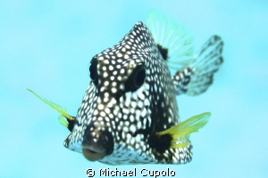Smooth Trunkfish at Buck Island in the USVI by Michael Cupolo