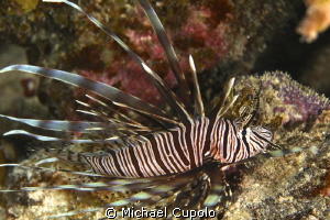 The Invasive Lion Fish by Michael Cupolo