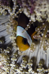 Anemone fish by Alistair Bygrave