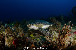 green turtle by Eduardo Nadal