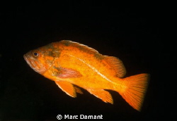 Vermillion Rockfish! by Marc Damant