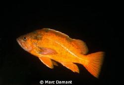 Vermillion Rockfish! by Marc Damant