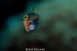 Sharp nosed puffer giving me the Stink-eye. by Bob Edwards