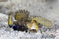 A juvenile fingered dragonet, crawling across the sand in... by Klaus Stiefel