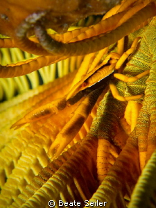 Yellow crinoid by Beate Seiler
